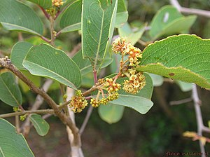 Anogeissus latifolia - Image: Anogeissus latifolia (Roxb ex DC) Wall ex Gill