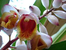 Zingiberaceae Characteristics | RM.