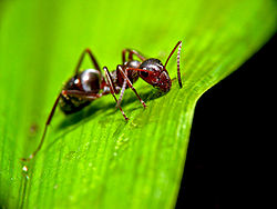 Ant on leaf.jpg