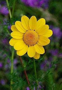 Anthemis April 2010-1.jpg