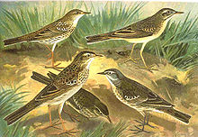 Anthus sp.jpg