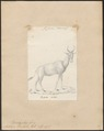 Antilope bubalis - 1818-1842 - Print - Iconographia Zoologica - Special Collections University of Amsterdam - UBA01 IZ21400125.tif