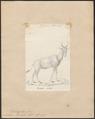 Antilope bubalis - 1818-1842 - Print - Iconographia Zoologica - Special Collections University of Amsterdam - UBA01 IZ21400125.tif