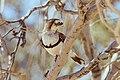 Aphelocephala nigricincta -near Strzelecki Track, South Australia, Australia-8.jpg