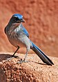 Aphelocoma woodhouseii (Woodhouse's scrub jay) (Garden of the Gods, Colorado Springs, Colorado, USA) 2 (49176522582).jpg