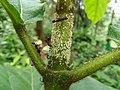 Aphids ants in Ficus hispida seedling Varattuparai nursery ph 01.jpg