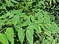 Apocynum cannabinum SCA-2395.jpg