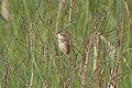 Aquatic Warbler (Acrocephalus paludicola) (14367103395).jpg