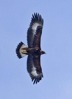 Juvenil kongeørn (Aquila chrysaetos)