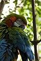 Ara hybrid -Rosamond Gifford Zoo -USA-8b.jpg