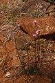 Arabis aculeolata 4632.JPG