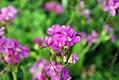 Arabis blepharophylla Spring Charm 6zz.jpg