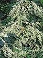Araliaceae Rice-paper plant IMG 4325 (5765395590).jpg