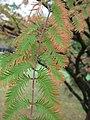Arboretum de Bagnoles - Metasequoia glyptostroboides (feuillage 1).jpg