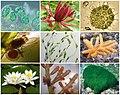 Archaeplastida Diversity.jpg