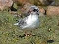 Arctic tern (14643324278).jpg