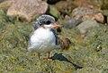 Arctic tern (14643418737).jpg