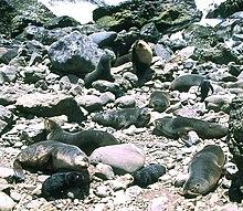 un mâle et les huit femelles qui composent son harem