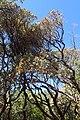 Arctostaphylos viscida ssp mariposa kz2.jpg
