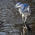 Ardea cinerea Graureiher grey heron 05.jpg