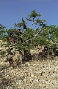 Arganiatrees and goats(js)4.jpg
