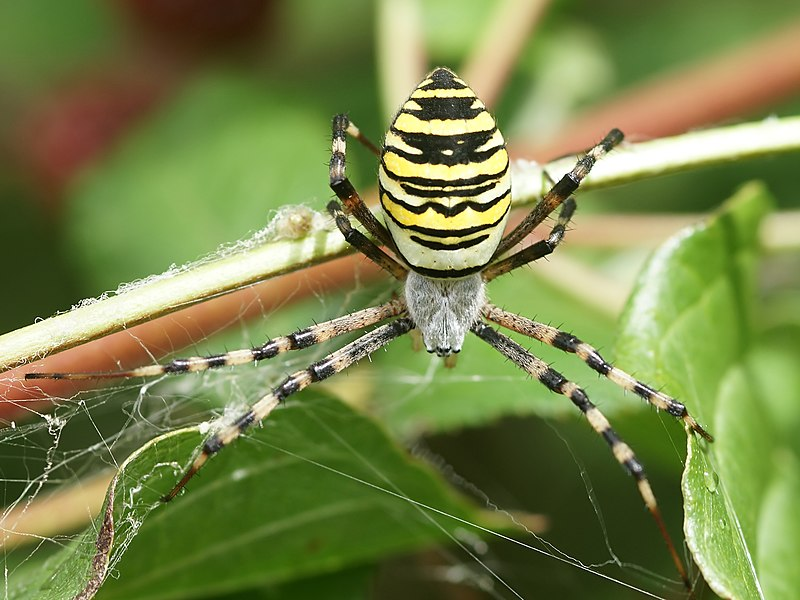 Wasp spider close to Pleuville, Charente, France
