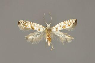 <i>Argyresthia fundella</i> Species of moth