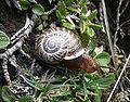 Arianta arbustorum 060707.jpg
