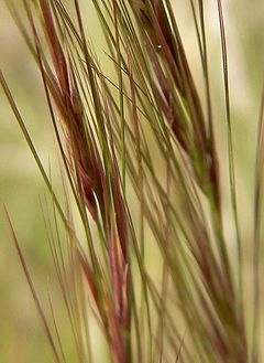 Aristida purpurea close.jpg