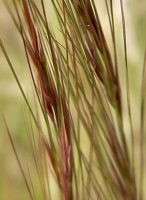 Aristida - purple three-awn (Aristida purpurea) flowers