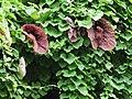 Aristolochia elegans-IMG 6979.jpg