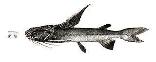 <i>Nemapteryx</i> Genus of fishes