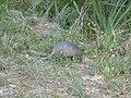 Armadillo inside Florida's Myakka State Park 2.jpg