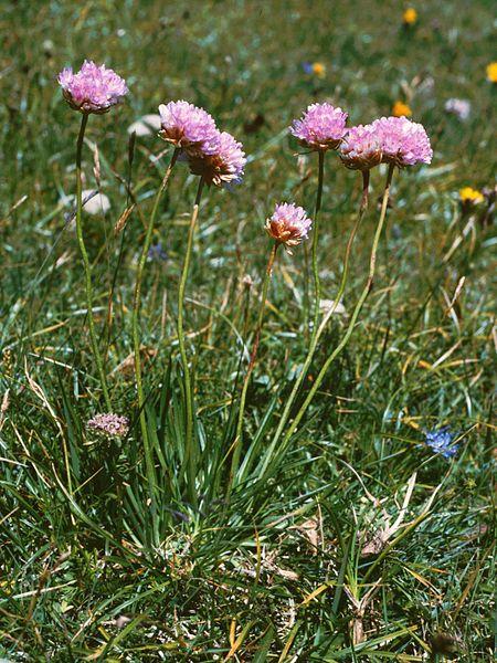 File:Armeria alpina Zinken.jpg