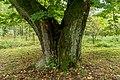 Arnoldov, památný strom Arnoldovská lípa 04.jpg