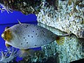 Arothron nigropunctatus.002 - Aquarium Finisterrae.JPG