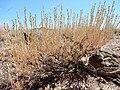 Artemisia arbuscula (28442663582).jpg