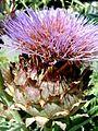 Artichaut en fleur artichoke flower (1072253189).jpg