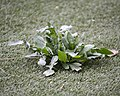 Artificial turf and natural flowers Vraie plante sur gazon de plastique Nice avril 2018.jpg