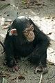 Artis Toddler chimpanzee Shangwe - Artis Royal Zoo (10037662986).jpg