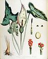 Arum maculatum — Flora Batava — Volume v14.jpg