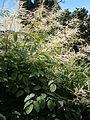 Aruncus dioicus04.jpg