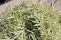 Arundinaria variegata 1zz.jpg