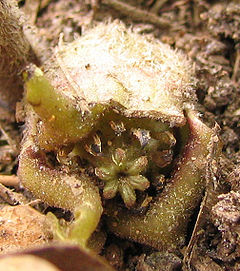 Asarum canadense - wild ginger - desc-view into flower.jpg