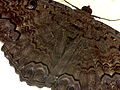 Ascalapha odorata (mariposa nocturna).JPG