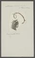 Ascaris osculenta - - Print - Iconographia Zoologica - Special Collections University of Amsterdam - UBAINV0274 104 03 0011.tif