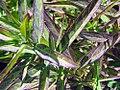 Asclepias incarnata 25zz.jpg