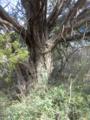 Ashe-Juniper-bark.png