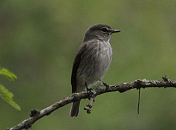Ashy flycatcher (Muscicapa caerulescens) - late evening, dim light. (5964281395).jpg