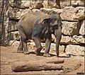 Asian-Elephant-Jerusalem-Jerusalem-Biblical-Zoo-IZE-282.jpg